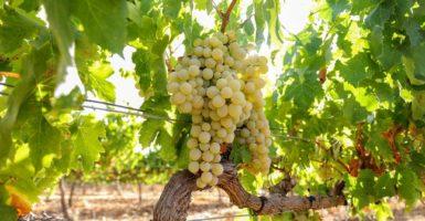 Bodega Fontalba Capote uvas